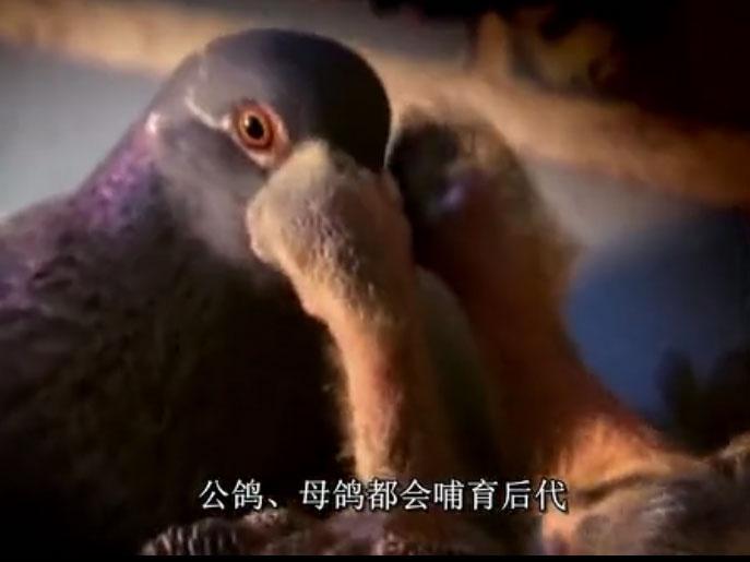 纪录片:动物天才――鸽子