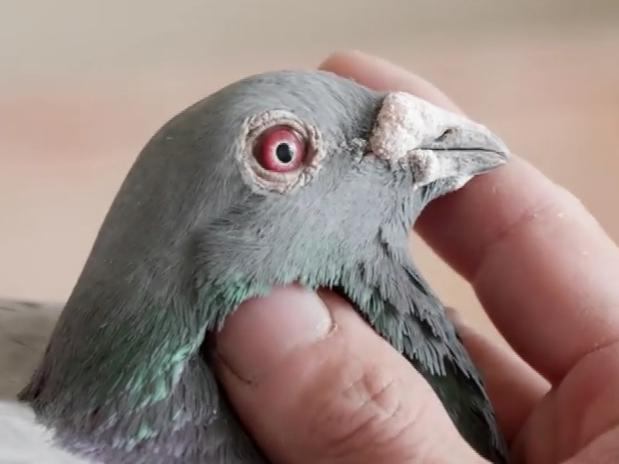 纪录片:一位酷爱养鸽的安阳人 主打詹森克拉克