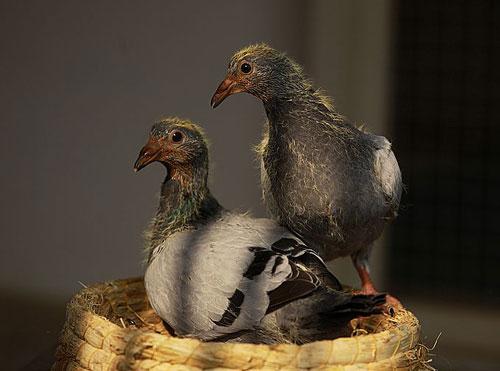 视频介绍雏鸽的饲养管理