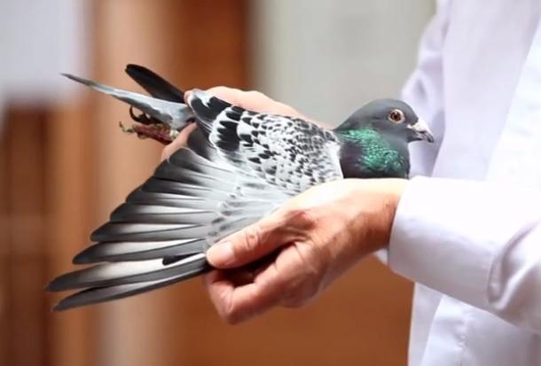 视频欣赏:考夫曼名鸽小迪克