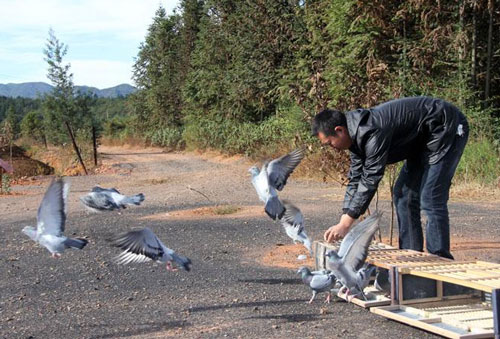 视频介绍信鸽的训练方法