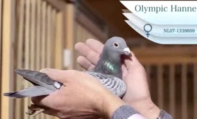 """彼得文斯特拉名鸽""""奥林匹克汉尼"""""""