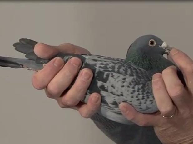 """乔斯托内最喜欢的种鸽""""赛摩斯"""""""