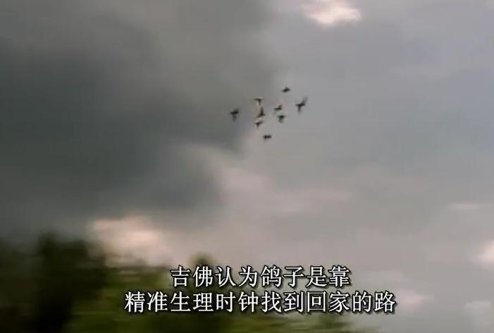 美国国家地理纪录片:鸽子的导航能力