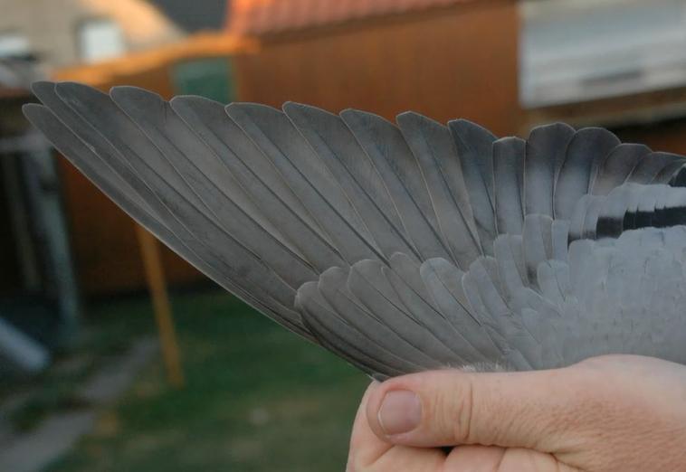 普拉图鸽舍获得奥瑞拉克一岁鸽冠军