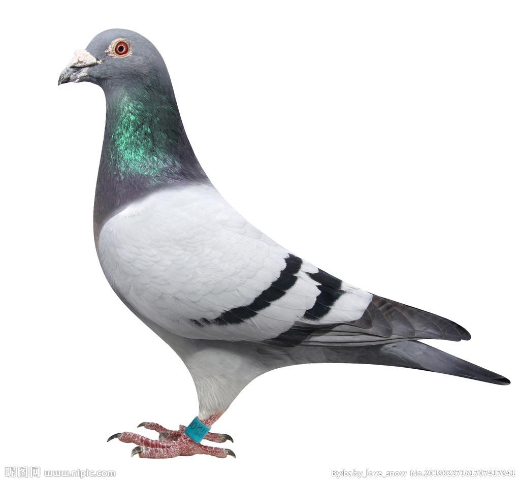 如何正确清理鸽子的呼吸道