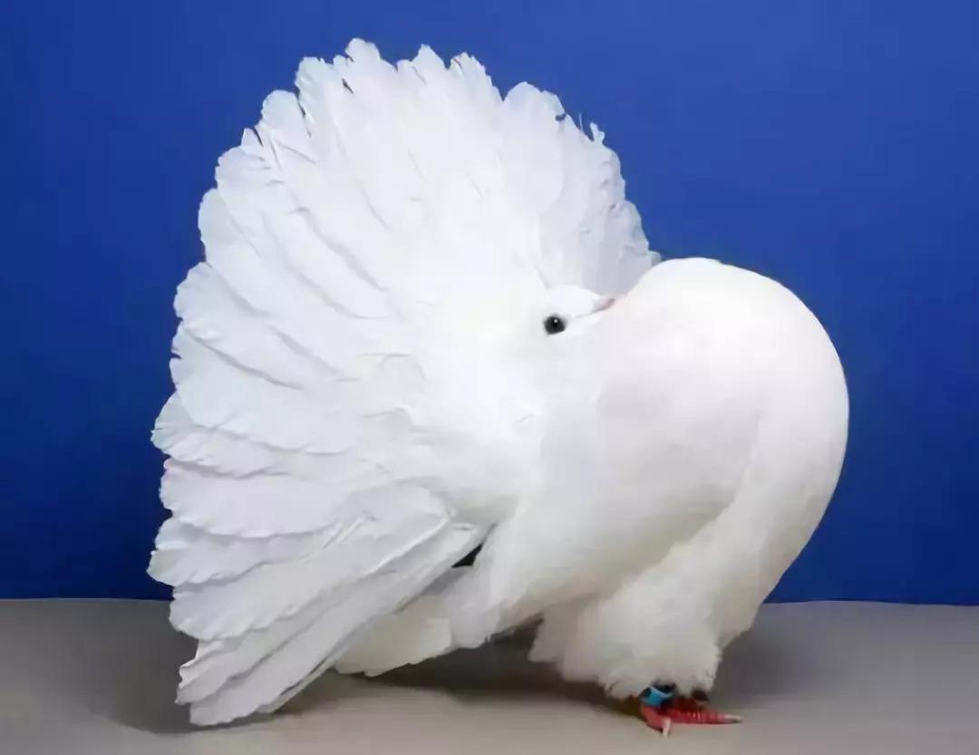 没见过的鸽子:漂不漂亮你说了算!