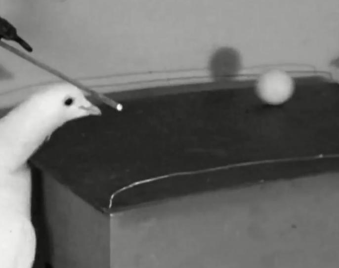 你说厉害不?科学家把鸽子训练得能打乒乓球