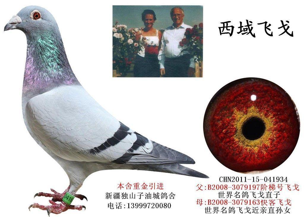 赢钱鸽系:西域飞戈孙代