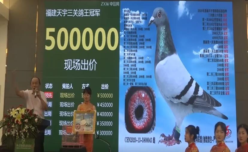 视频:价值50万的福建天宇鸽
