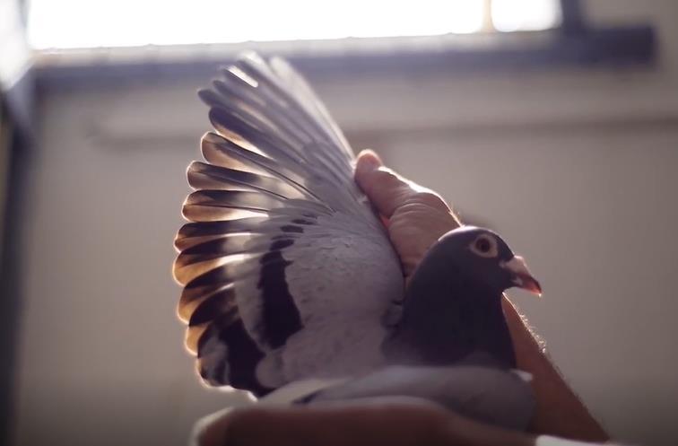 每日一鸽:巴塞罗那千公里冠军鸽王