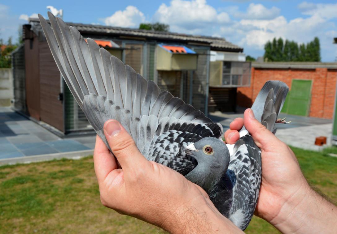 比利时查特鲁幼鸽冠军 30713羽总冠军