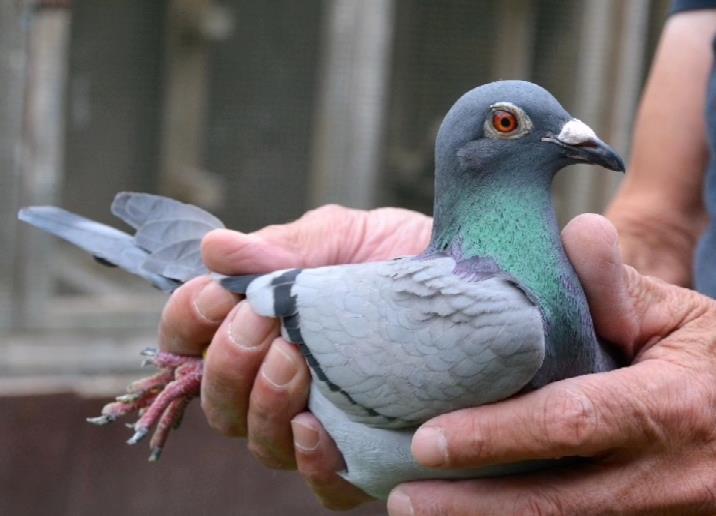 KBDB中长距离一岁鸽组鸽王冠军