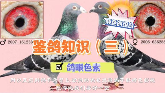 色彩艳丽的鸽眼 是如何配对出来的?