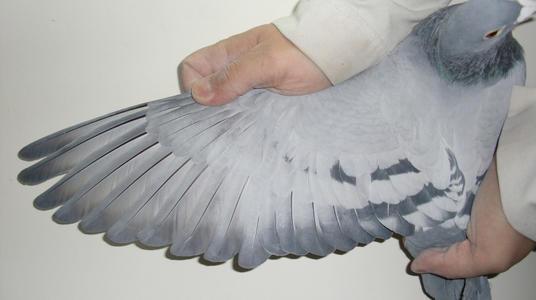 看羽识鸽:详解羽条类型和功能