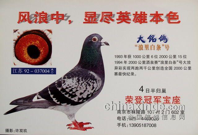 """每日一鸽:累计竞翔超万公里的""""浪里白条"""""""