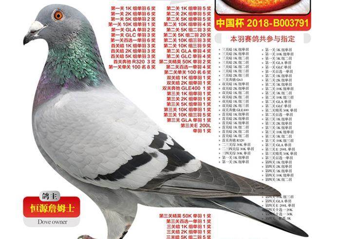 """每日一鸽:恒源詹姆士的神奇小鸟""""奇迹号"""""""