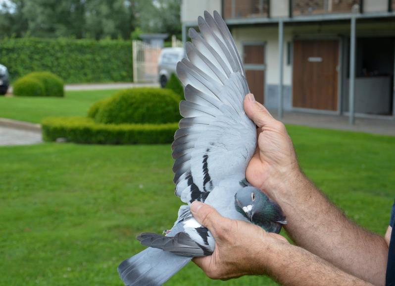 查特鲁II一岁鸽组5140羽冠军