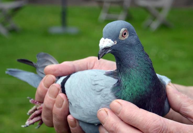 比利时伊苏丹一岁鸽全国14755羽冠军
