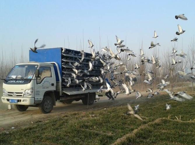 跟鸽车训放 怎么减少鸽子的紧迫?