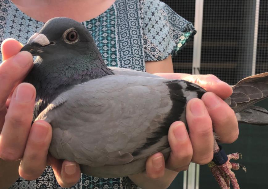 拉索特年Ⅱ幼鸽冠军 出自贺伯特血系