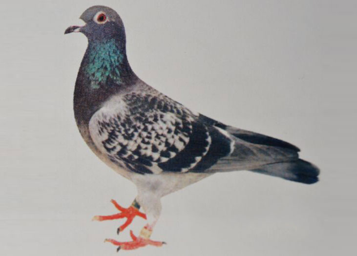 每日一鸽:90年代卖一羽鸽子晋升万元户