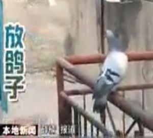 视频:放飞鸽子 - 信鸽视频播客-中国信鸽信息网