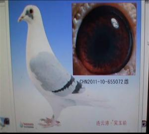 中国 海州/本舍种赛鸽眼志与内线. 人气:5905 发布:海州信鸽
